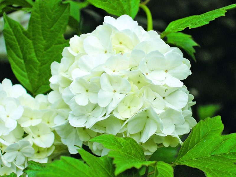 Бульденеж кустарник — уход и выращивание декоративного кустарника калина бульденеж