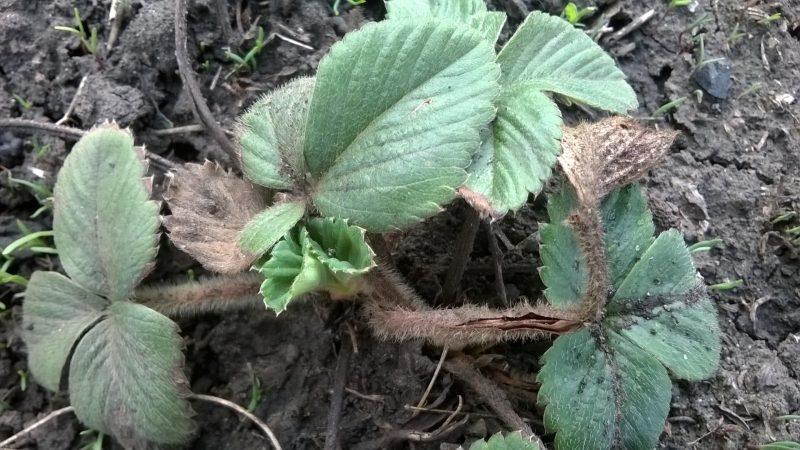 Клубника Дарселект: описание сорта, урожайность, посадка и уход