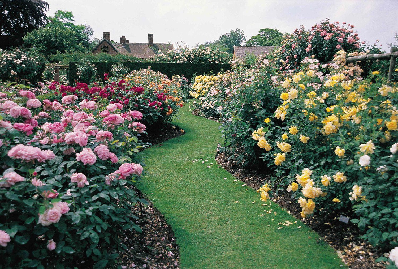 Дамасская роза (Rosa damascena): описание, сорта, посадка и уход