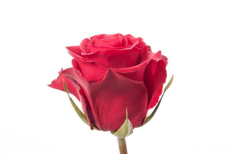 Длинные розы: как выращивать и ухаживать. Как оформить букет?
