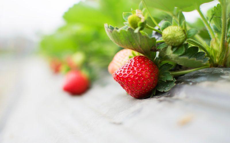 Обработка клубники весной: средства от болезней и вредителей, весенняя подкормка клубники