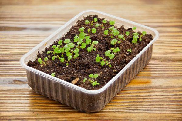 Клубника Эльсанта: описание сорта, уход и выращивание
