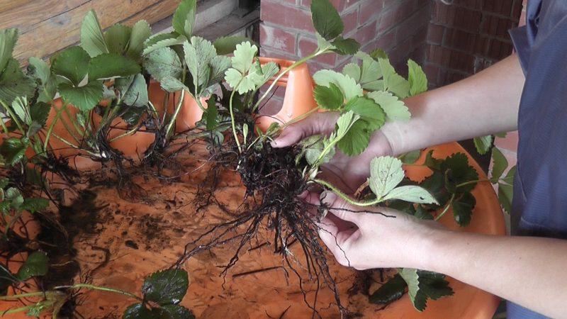 Выращивание клубники в открытом грунте: посадка, уход, особенности и секреты