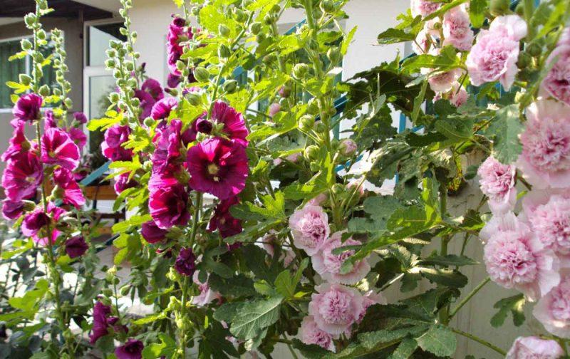 Шток-Роза: посадка и уход, выращивание из семян, чем отличается от Мальвы