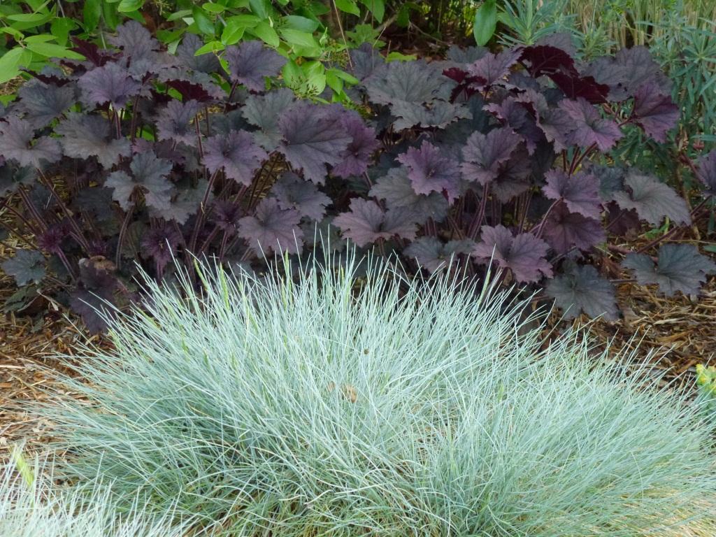 Овсяница сизая: посадка и уход в открытом грунте, выращивание и размножение