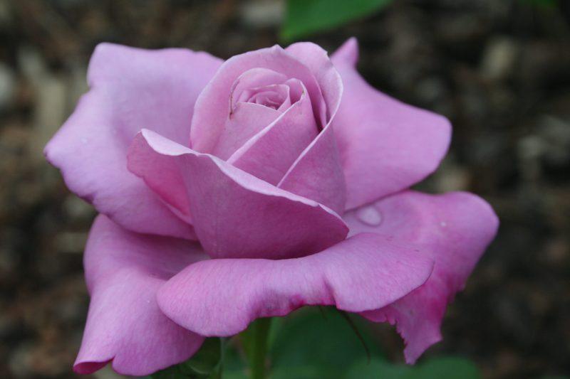 Чайно-гибридная роза: описание сортов, посадка и уход