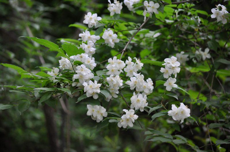 Чубушник (садовый «жасмин»): сорта, описание, посадка и уход