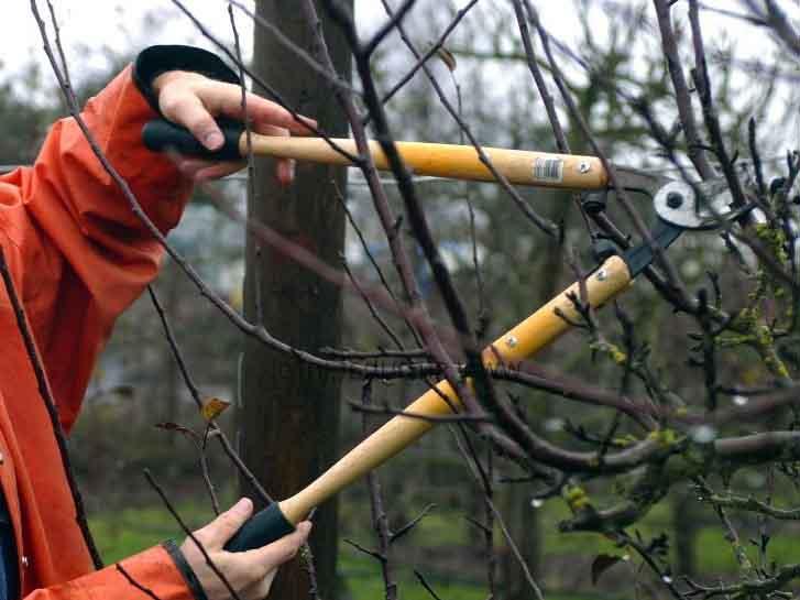 Осенняя обрезка плодовых деревьев: цели, способы и сроки