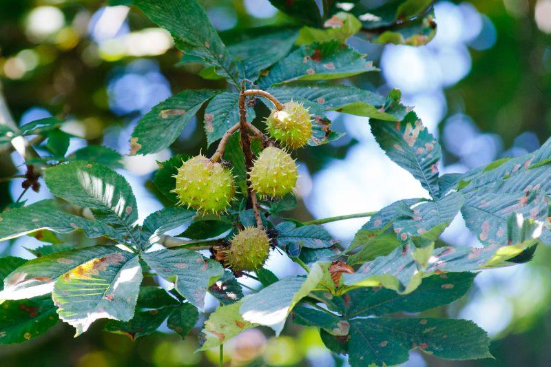 Дерево Каштан (Castanea): описание, посадка и уход