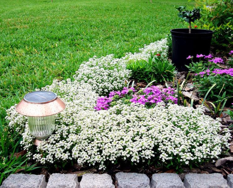 Алиссум Снежный ковер: выращивание из семян, посадка и уход, фото