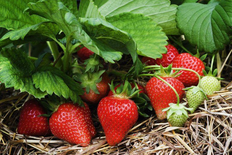 Клубника: выращивание, уход и полив в открытом грунте и в теплице