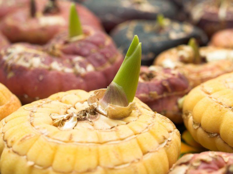 Гладиолусы — посадка и уход в открытом грунте