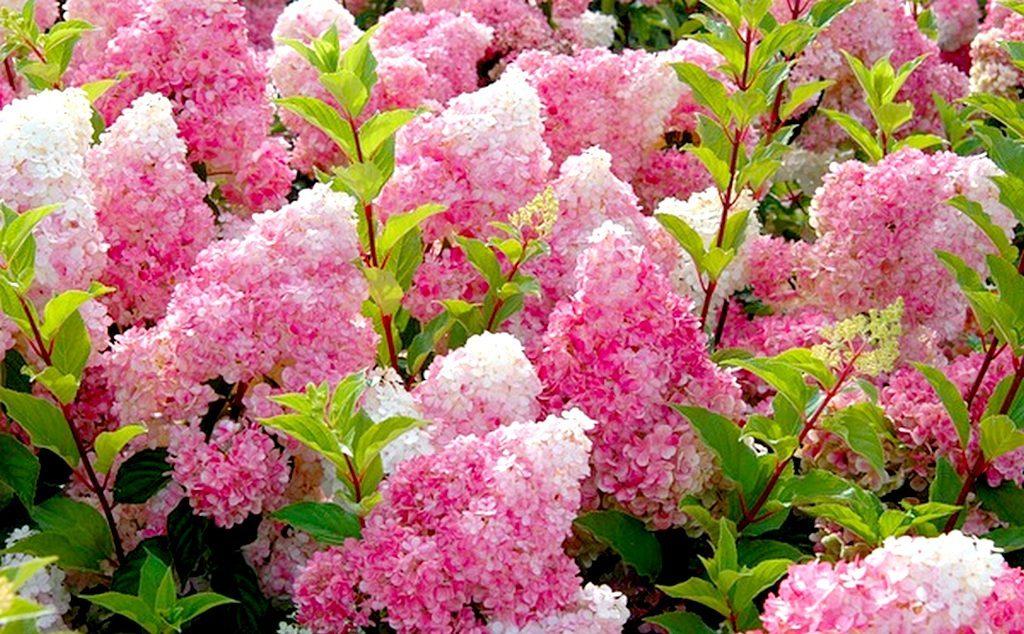 Гортензия ванилла фрейз: посадка и уход, выращивание и полив