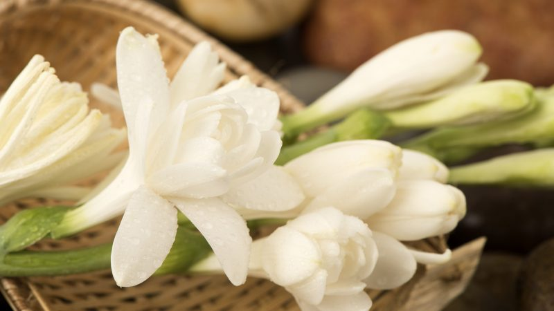 Тубероза: описание, посадка и уход, чем пахнет цветок