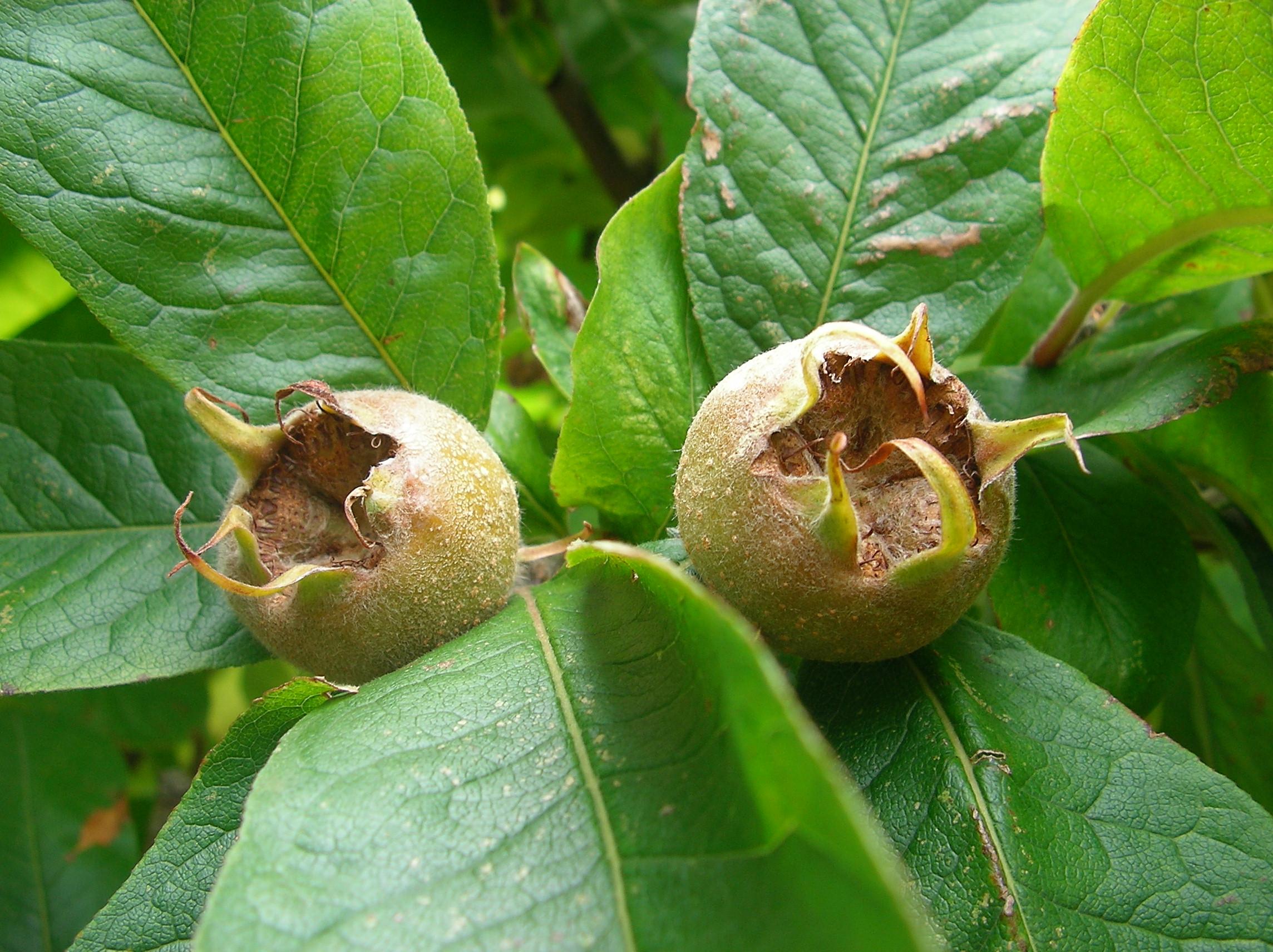 Мушмула германская: выращивание, посадка и уход в открытом грунте