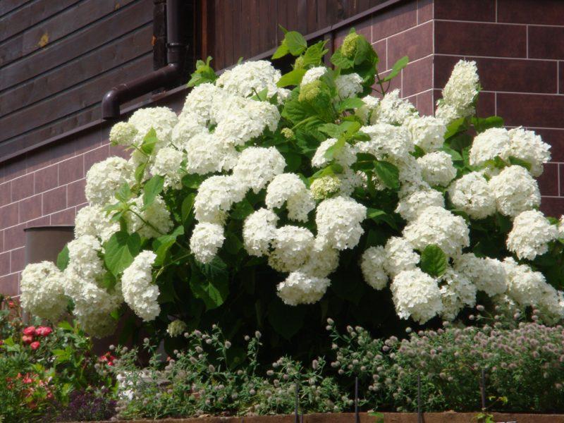 Калина бульденеж — посадка и уход, выращивание