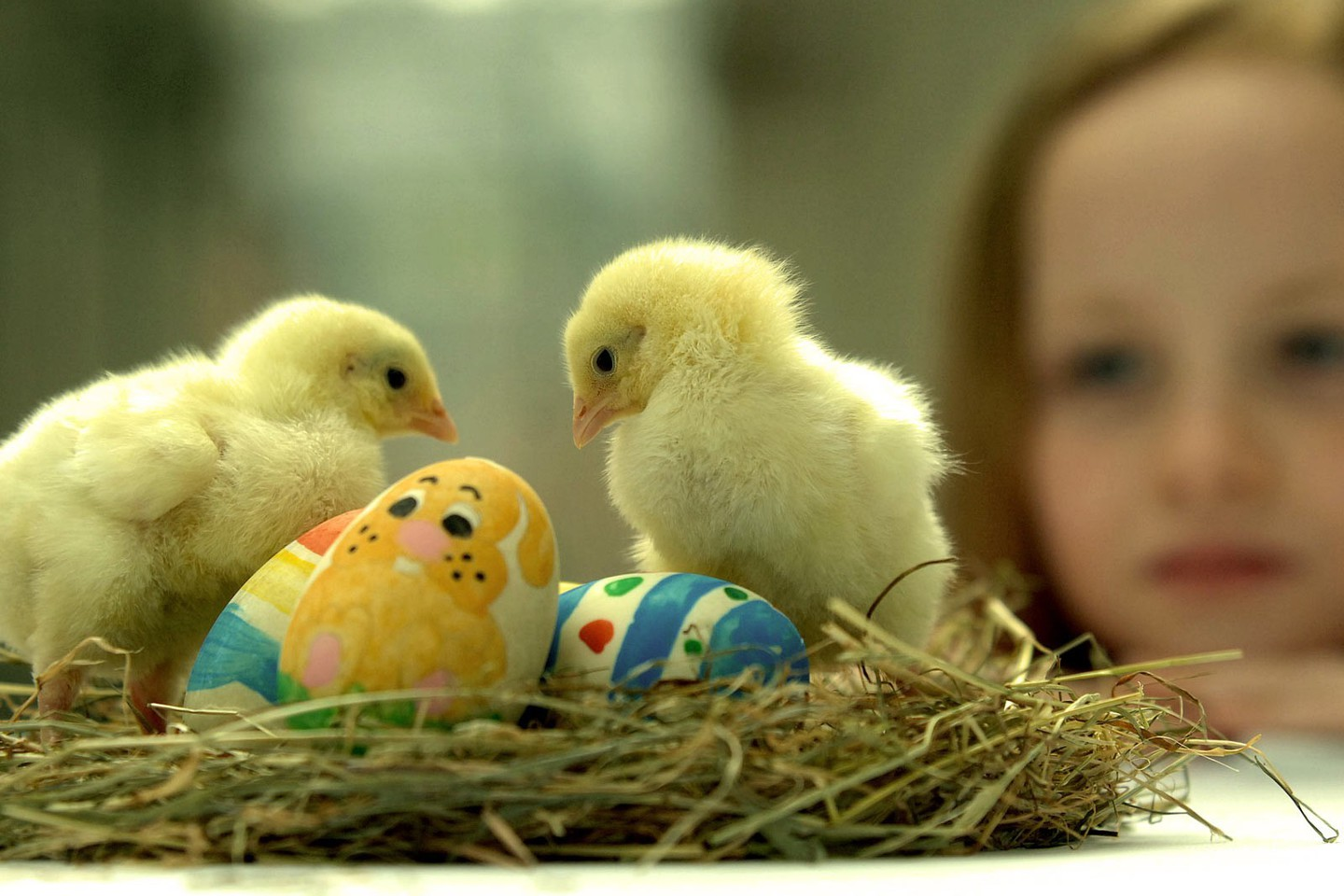 easter-chicks-chickens-nest-baby-birds-1440x960-wallpaper