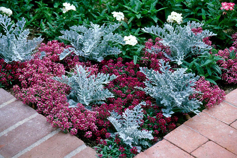Алиссум (Alyssum, Бурачок): сорта, посадка, выращивание и уход в открытом грунте