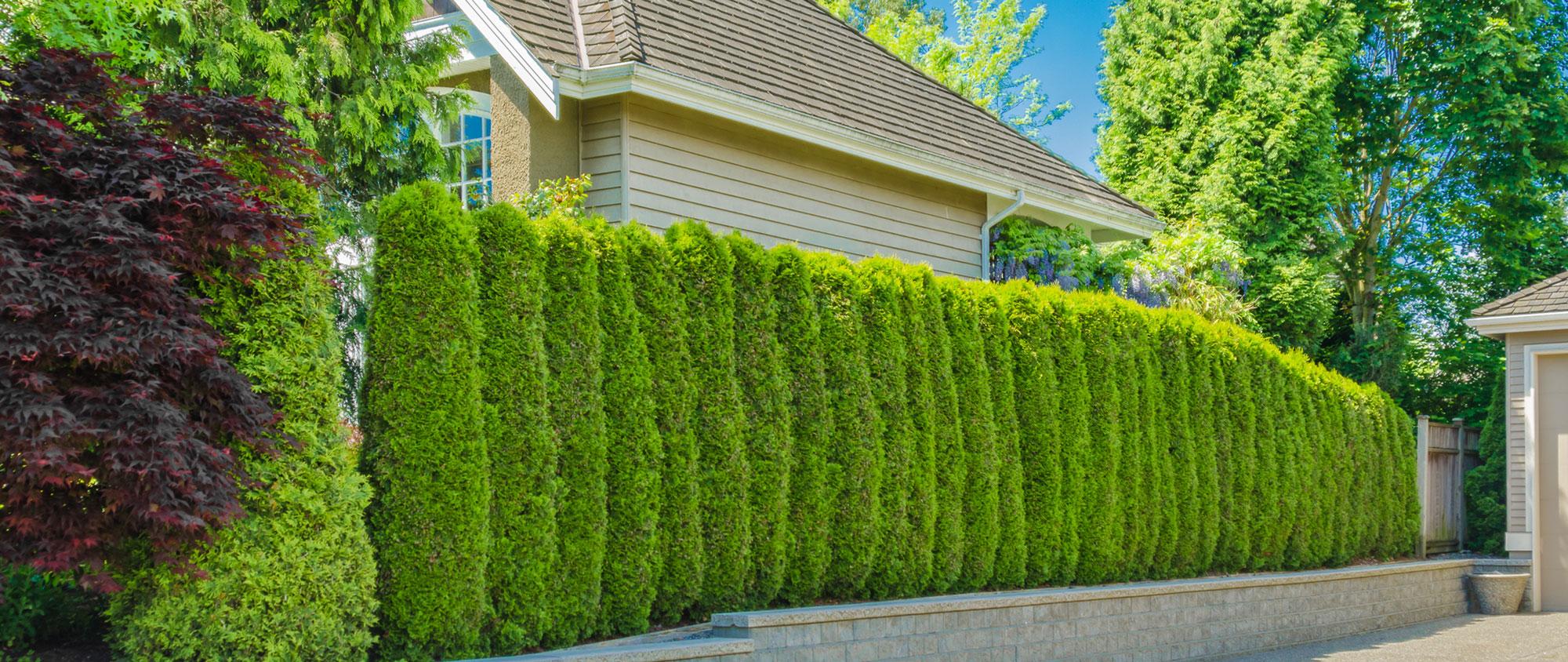Живая изгородь быстрорастущая многолетняя и вечнозеленая