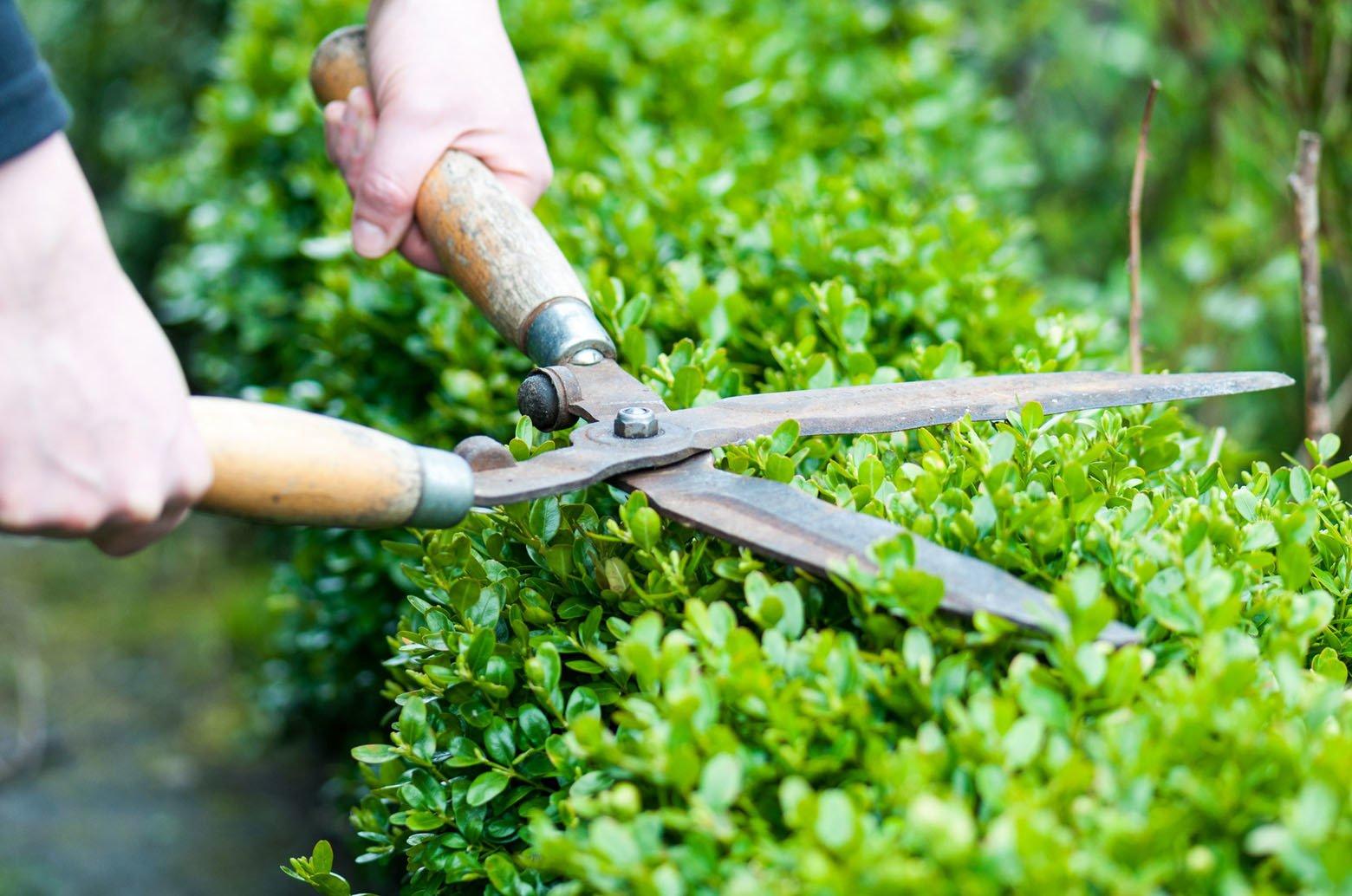 Самшит вечнозеленый (Кавказская пальма): посадка, выращивание и уход