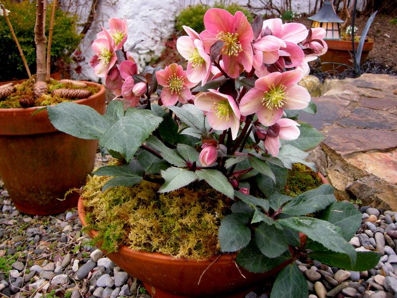 Морозник: посадка и уход в открытом грунте, выращивание в саду