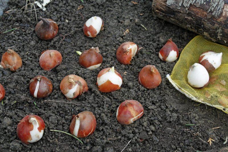 Тюльпаны: посадка и уход в открытом грунте весной и осенью