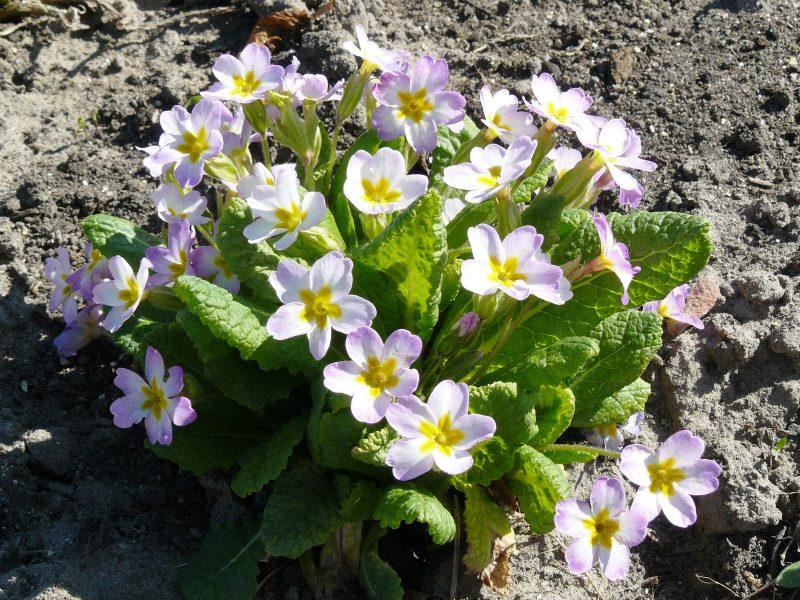 Примула многолетняя садовая — посадка и уход