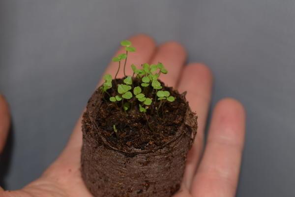 Лобелия многолетняя: сорта, размножение, посадка и уход