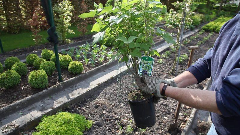 Смородина: описание и сорта кустарника, посадка, уход и выращивание в саду, размножение и обрезка