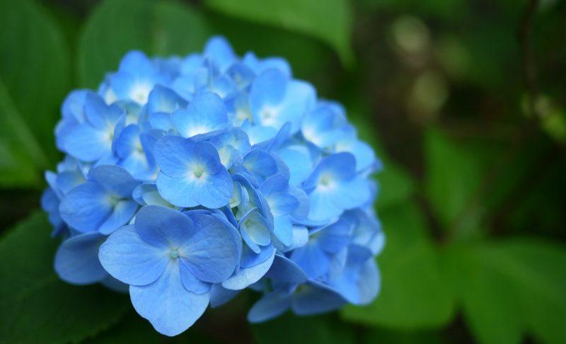 Гортензия голубая: сорта, посадка, выращивание и уход