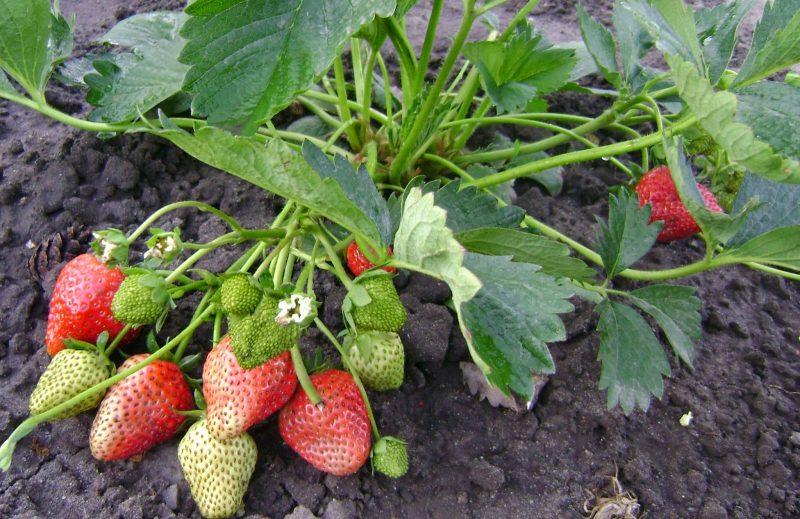 Клубника Елизавета: описание сорта, посадка и уход, подкормка растения