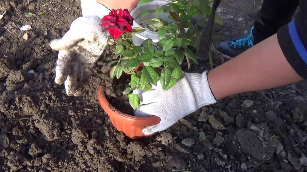 Роза Фальстаф: описание сорта английской розы, уход и выращивание