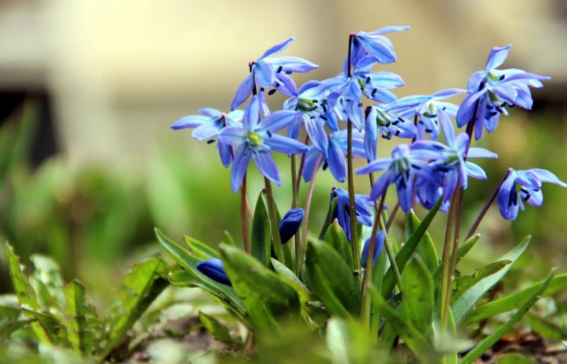 Синие подснежники (Пролеска, Сцилла, Scilla): описание, размножение