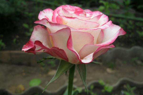 Роза Свитнесс (Sweetness): описание сорта, посадка и уход