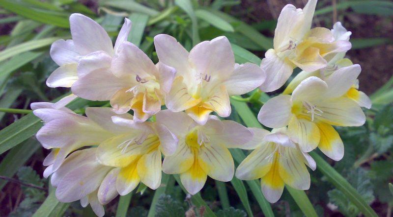 Фрезия (Freesia): посадка, выращивание и уход в открытом грунте