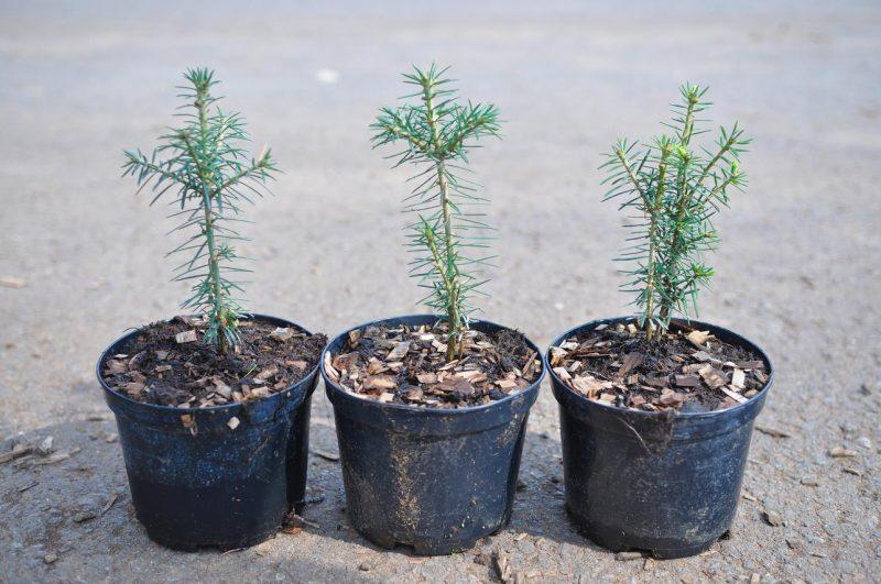 Пихта: описание и виды, посадка, уход и выращивание