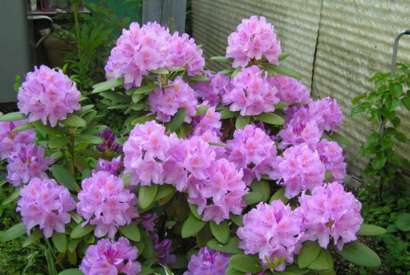 Рододендрон Катевбинский: описание вида и сортов, посадка и уход, сроки цветения, зимостойкость