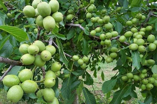 Как посадить грецкий орех из плода и саженцем: советы и рекомендации