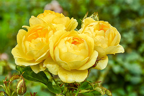 Роза Флорибунда — что это такое? Сорта, уход и выращивание