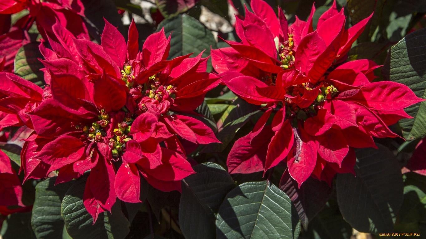 Цветок Пуансеттия Красная: как ухаживать в домашних условиях, выращивание и размножение