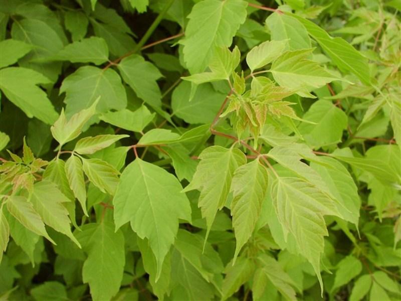 Клен ясенелистный (американский, Acer negundo): описание, использование, экологический вред, как избавиться, выращивание декоративных сортов клена ясенелистного