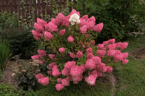 Гортензия розовая: посадка, выращивание и уход