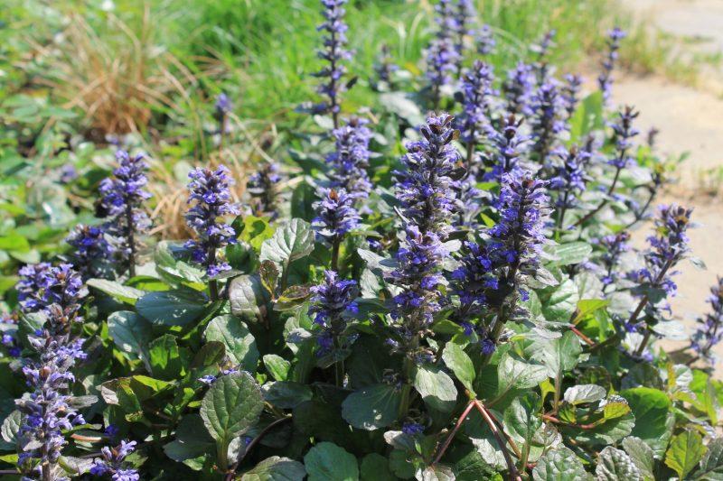 Почвопокровные многолетники – растения, цветущие все лето
