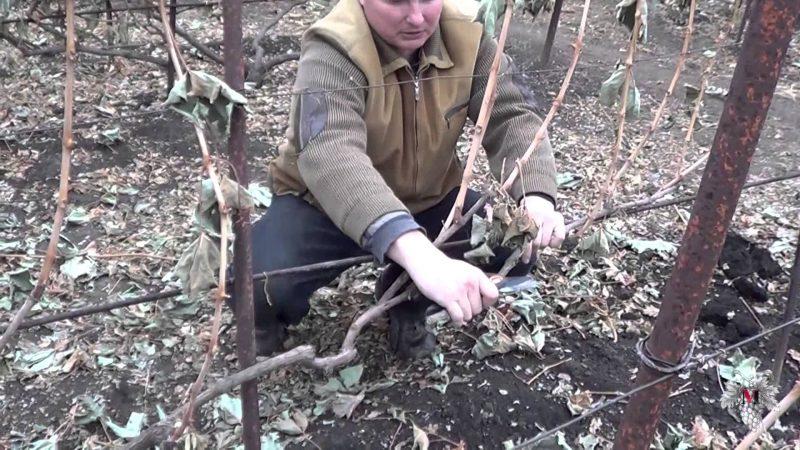 Как правильно обрезать виноград осенью на зиму в средней полосе России – инструкция