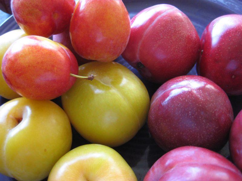 Алыча: виды и сорта, посадка, выращивание и уход