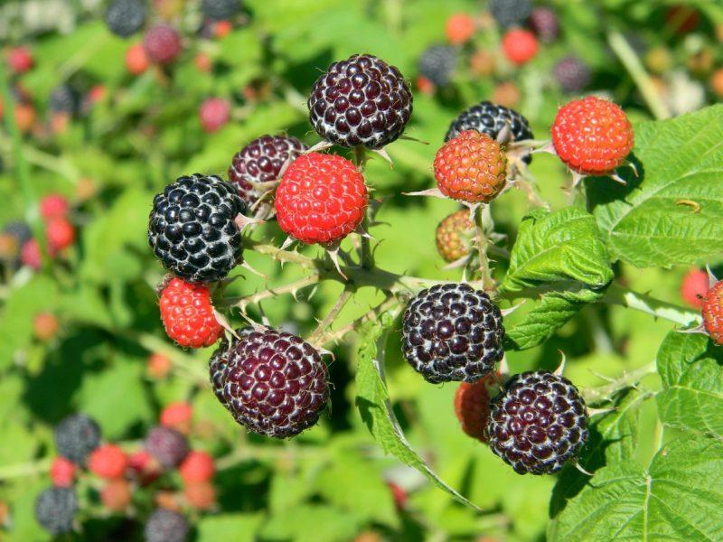 Малина – уход, посадка и обрезка осенью – как выращивать и собирать хороший урожай?