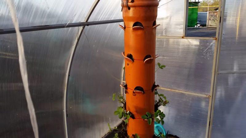 Выращивание клубники: в открытом грунте и теплице, на балконе, в трубах ПВХ в домашних условиях