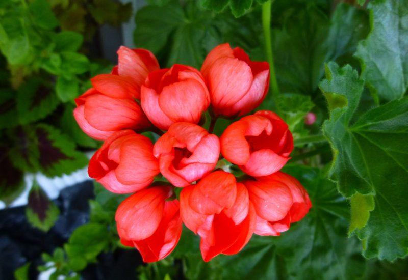 Пеларгония тюльпановидная: описание вида, названия сортов, размножение и уход