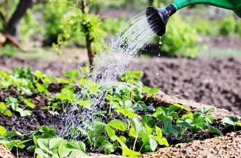 Уход за клубникой во время цветения, плодоношения и после сбора урожая: советы и рекомендации