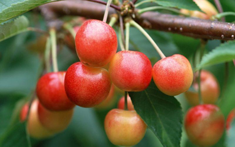 Черешня: лучшие сорта, посадка и уход в саду